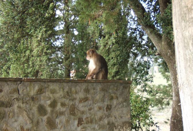 Da alcuni giorni i cittadini di Greve in Chianti segnalavano alla centrale operativa del Corpo Forestale la presenza di un macaco (macaca fuscata) nei pressi del cimitero di Petriolo. Si tratta di un primate proveniente dal Giappone protetto dalla convenzione di Washinghton. Il personale del Corpo Forestale e della Polizia Provinciale di Firenze, coadiuvato dalla Polizia Municipale di Greve in Chianti presente sul posto, hanno proceduto alla cattura e al sequestro dell'animale. Al momento non è apparso maltrattato e si è avvicinato senza paura all'uomo. Si ipotizza che sia stato importato illegalmente nel territorio e quindi abbandonato in natura o forse sia scappato da chi lo aveva in custodia. E' stato immediatamente trasportato al centro di tutela e studio della fauna esotica e selvatica di Sasso Marconi dove verrà visitato e custodito