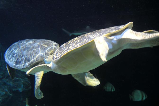 Ari la star dell 39 acquario di livorno corrierefiorentino for Acquario tartarughe grandi