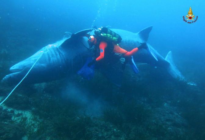LIVORNO -  Un esemplare di squalo elefante femmina della lunghezza di circa 8 metri e del peso di oltre 3 tonnellate è stato recuperato dal gruppo Sommozzatori dei Vigili del fuoco in collaborazione con Arpat al largo delle secche della Meloria, a Livorno, dopo che un pescatore lo aveva trovato nella sua rete.  L'animale, una femmina di squalo elefante (o cetorino, Cetorhinus maximus), il pesce più grande che vive nei nostri mari, è rimasto intrappolato nella rete del pescatore che viste le grosse dimensioni dell'esemplare lo ha abbandonato e ha avvisato subito le autorità competenti. Lo squalo si trovava adagiato su un fondale di 32 metri, e grazie all'impiego dei sommozzatori è stato possibile compiere una dettagliata documentazione fotografica che ha permesso di stabilire con certezza la specie e stimarne la dimensione. Il tentativo di recupero e trasporto a terra è risultato piuttosto complesso ed è poi fallito quando parte della coda del pesce si è rotta e lo squalo èt ornato sul fondo vicino al luogo di ritrovamento. Il cetorino è uno squalo considerato vulnerabile secondo le categorie Iucn e protetto ai sensi della Convenzione di Washington (Cities, Appendice II), della Convenzione di Barcellona (App. 2), della Convezione di Bonn (App.1 e 2) e della Convenzione di Berna (App. 2). I dati relativi agli avvistamenti e/o catture accidentali di questa specie richiedono quindi grande attenzione e hanno massima priorità nelle attività di monitoraggio portate avanti dai progetti come il Medelem. (S. Lanari)