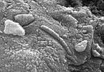 La vita su Marte - Nel 1996 questo meteorite fu considerato come la prima evidenza che su Marte era esistita la vita, almeno in forma microbatterica. Questo filamento in primo piano, lungo meno di un milionesimo di millimetro, rivelato su un meteorite di origine marziana trovato in Antartico, fu visto come un fossile di micro batterio. A tutt'oggi, dopo anni di accesi dibattiti fra gli scienziati, ancora non si è avuta una risposta definitiva sulla natura del filamento. Risposta che forse si potrà avere solo con prossime missioni su Marte. (Gian Paolo Tozzi