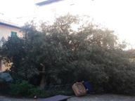 Prato, cade un leccio nel giardino dell'asilo (ancora chiuso)