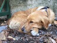 Firenze, ritrovato il cane Isola Era scomparsa in zona Gavinana