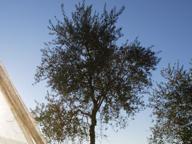 Rubato un ulivo nel parco dedicato alle vittime della strage di Viareggio