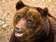 Monteriggioni, avvistato un orso Segnalazioni in zona Montagnola