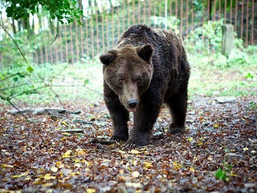 Cavriglia, addio a Bruno L'ultimo orso dell'ex zoo